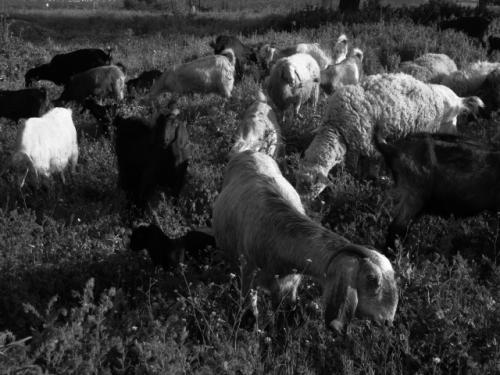 כבשכבשים2